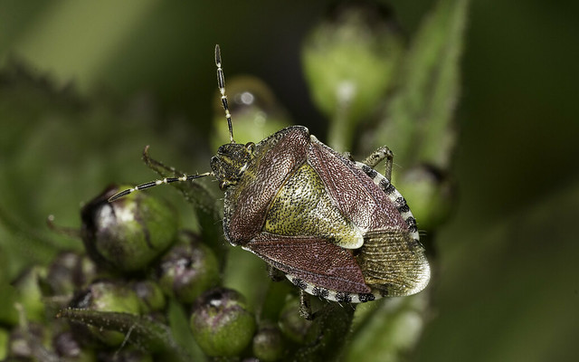 Hairy shieldbug aka sloe bug