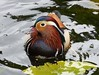 Mandarin Duck. by Puerto De Liverpool.