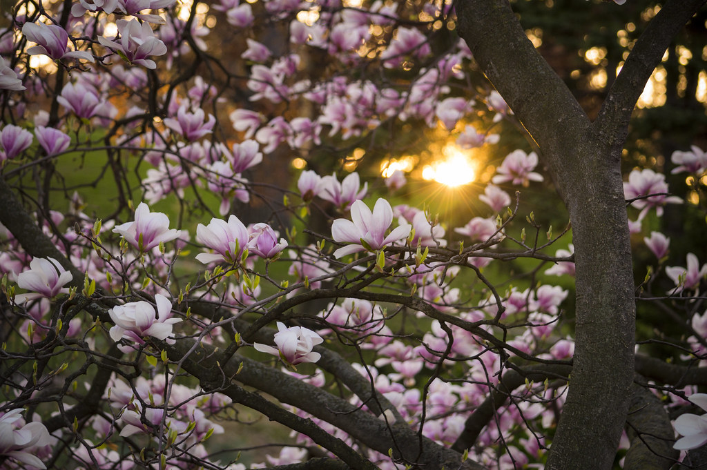 Magnolia Sunrise The Sun Crests A Hill In High Park Toron Flickr