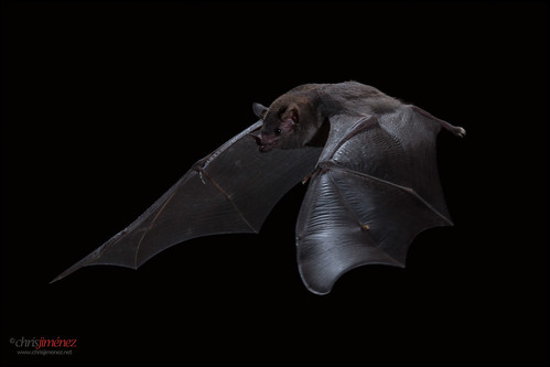 Common Long-tongued Bat
