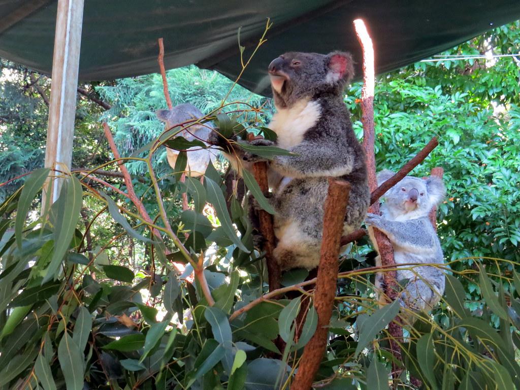 Koalas - Koala Park Sanctuary - Sydney, Australia