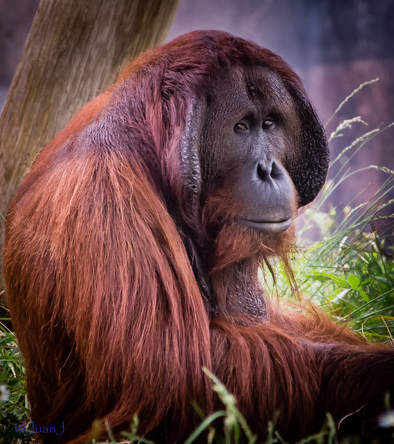 Gorilla @ Columbus Zoo