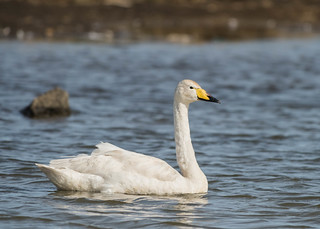 Whooper Swan | by tickspics
