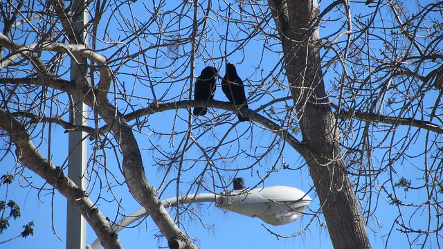 IMG_1004 crows in love