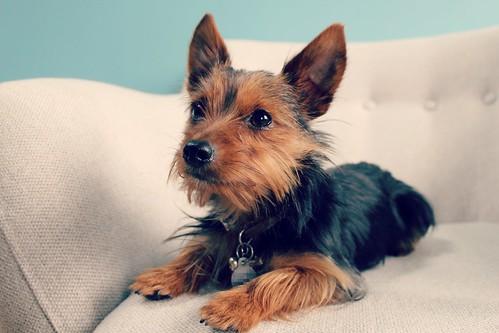 yorkshire_terrier_puppy