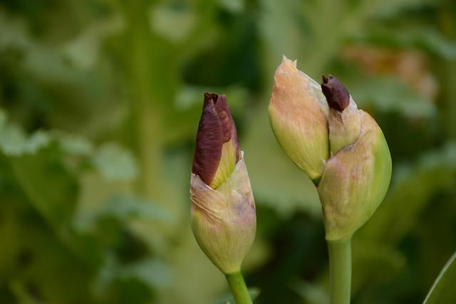 Iris 'Brindisi' - Schreiner 1979 32522776735_aec9fd740c_z
