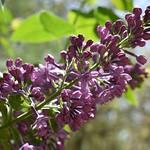 Rhapsody in Lilac