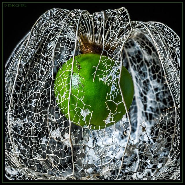 green physalis