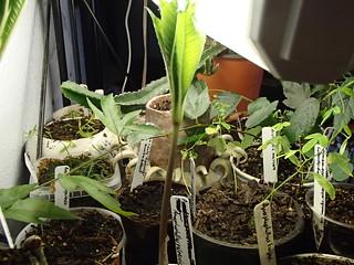 Amorphophallus yuloensis   by hawken.carlton