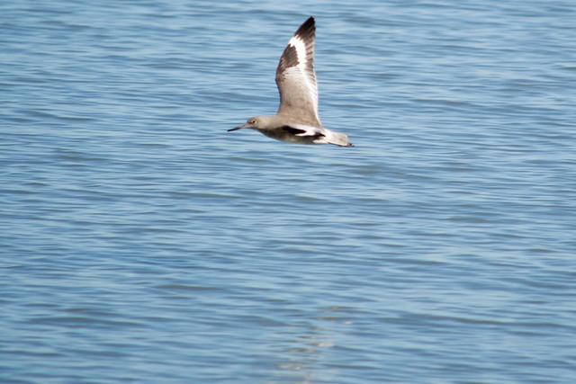 Willet a wading bird, public shoreline, Milbrae DSC_0755