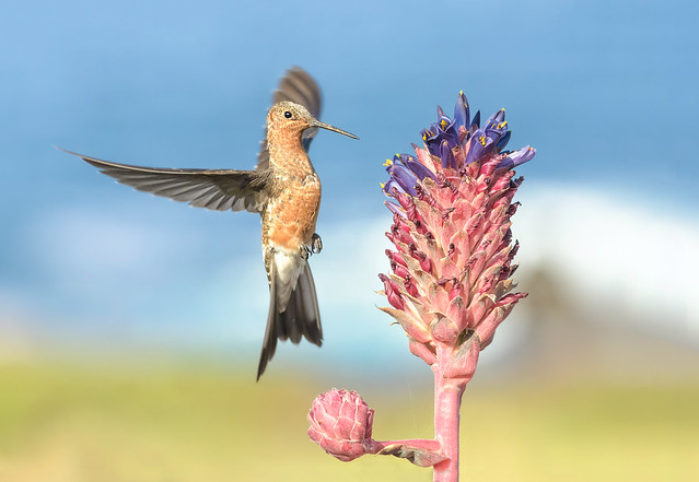 Picaflor grande - Giant Hummingbird - Patagona gigas