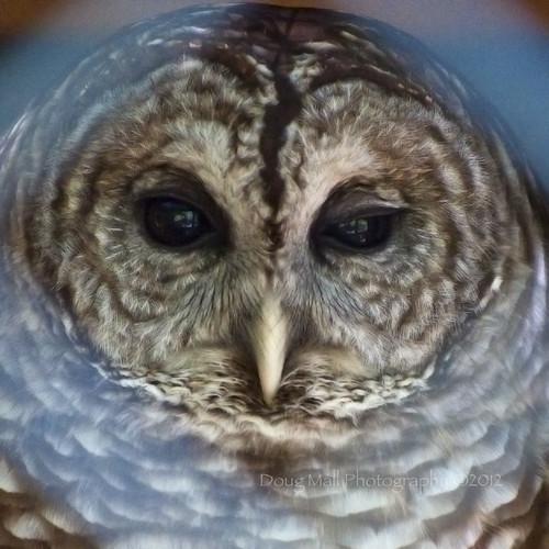 bird nature face animal nc raptor owl sanford bokehframe sanleepark nikond5000 dougmall