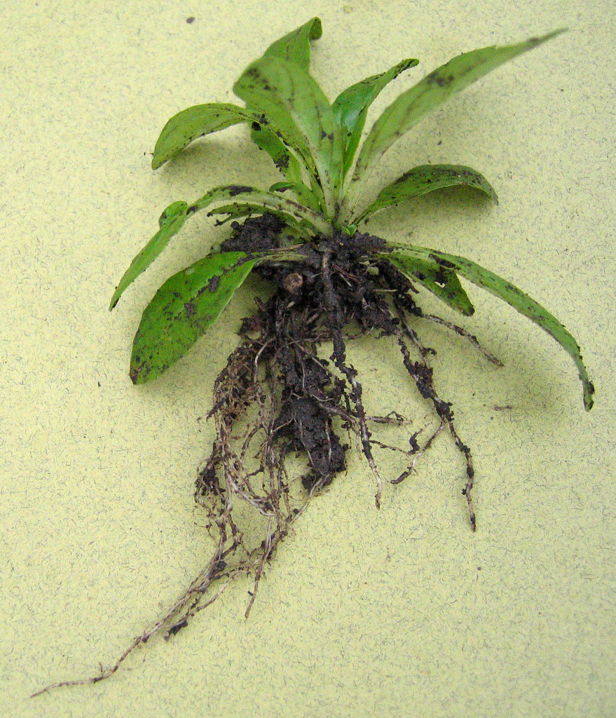 Willowherb plant (Epilobium sp.) with fibrous roots