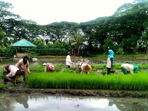 ricefield joggingtrack