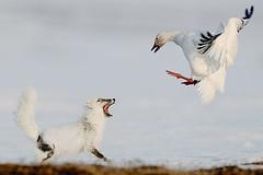 Sergey Gorshkov - Fox vs Goose