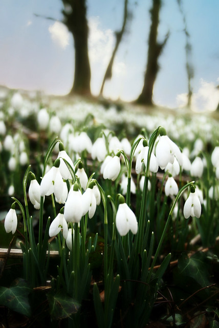 Dimminsdale Snowdrops (Explored)