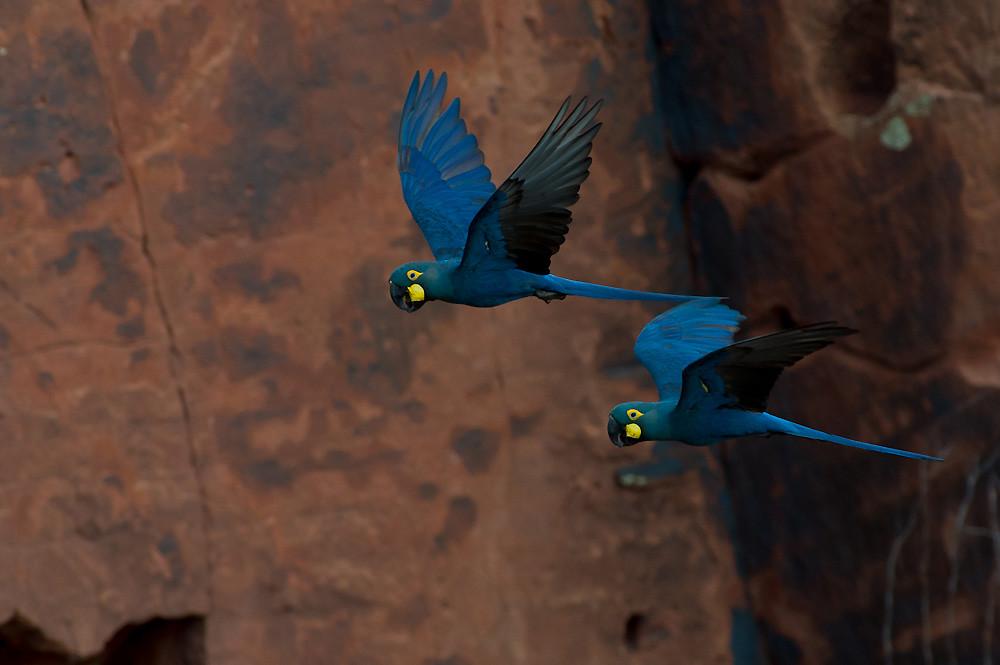 瀕危物種李爾氏金剛鸚鵡(Lear's Macaw)