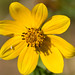 Larger Bur-Marigold - Photo (c) dogtooth77, some rights reserved (CC BY-NC-SA)