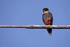 Falco rufigularis by Wilmer Quiceno