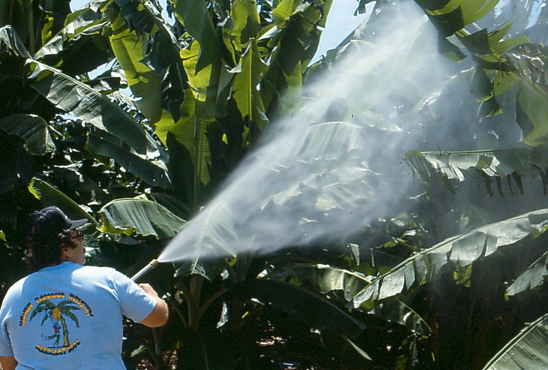 Spraying pesticides on bananas in the 1980s