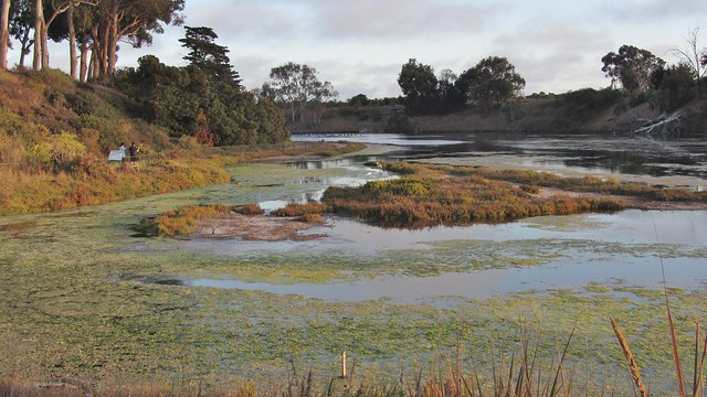 IMG_3145 UCSB lagoon great blue heron adj (2)