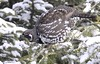 Spruce Grouse / Tétras du Canada (Falcipennis canadensis) by Olivier Barden