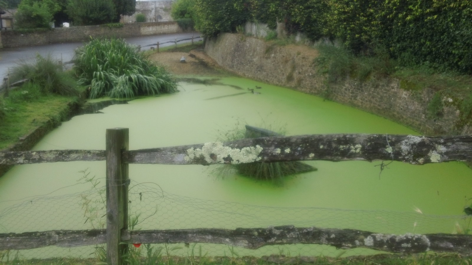 Ducks in pea-green soup actually the pond at Peper Harrow