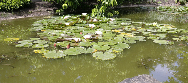 Water Lily View