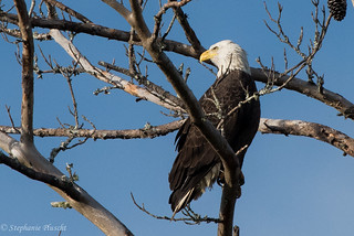 Bald Eagle | by stephaniepluscht