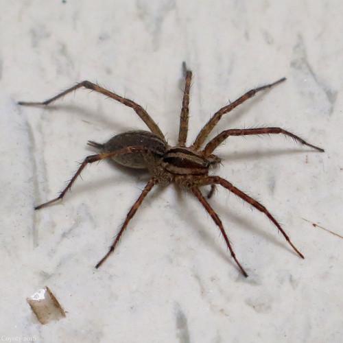 Thanksgiving Spider
