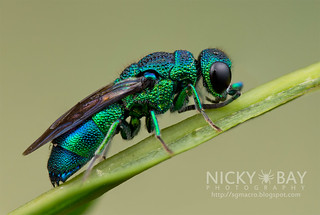 Cuckoo Wasp (Chrysididae) - DSC_9871 | by nickybay