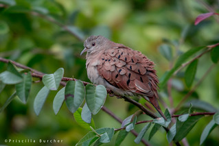 Columbina talpacoti rufipennis (Ruddy Ground Dove / Tortolita) | by PriscillaBurcher