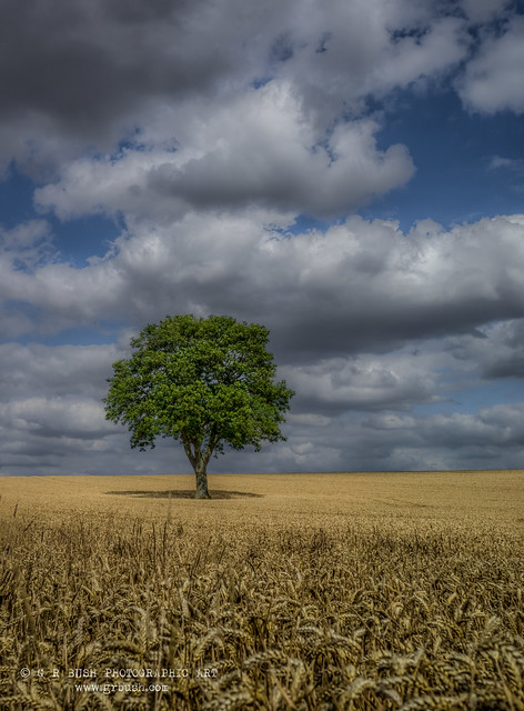 The lonely oak 2
