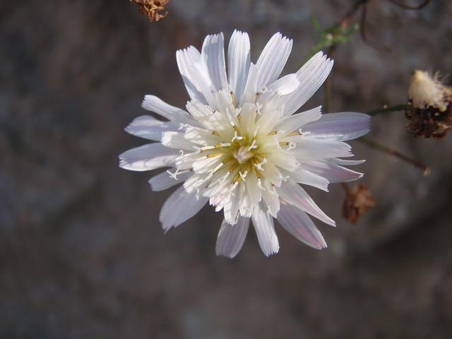 Malacothrix saxatilis (Cliff desert dandelion)