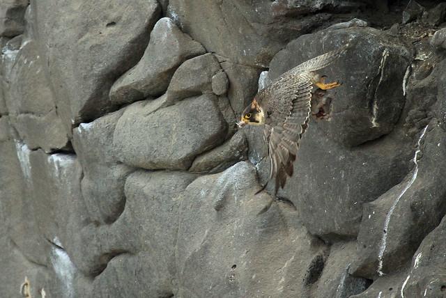 Faucon de Barbarie - Playa blanca/Lanzarote/España_20120413_371