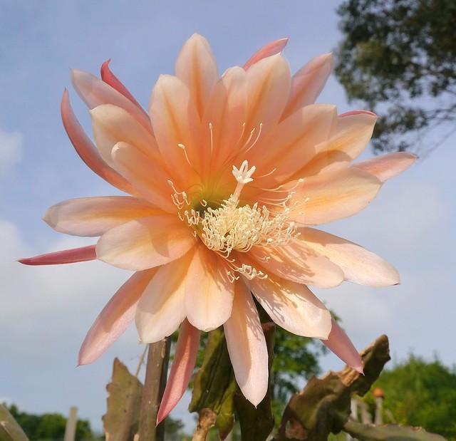 Epiphyllum sp.