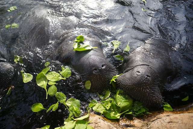 Manatee's eating spinach