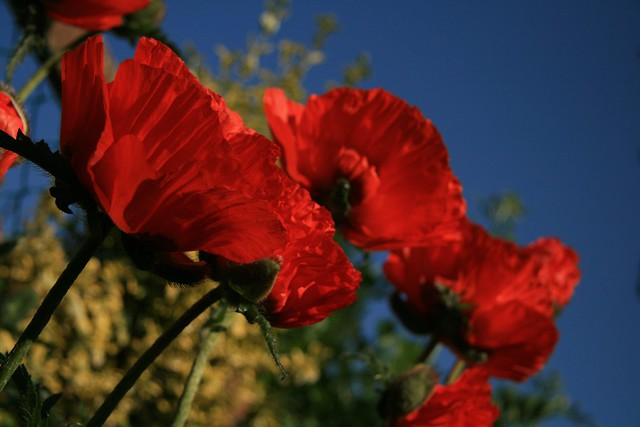 Blue Sky Red Poppies