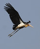 Lesser Adjutant in flight by Wild Chroma