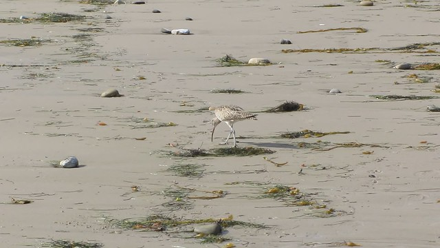 MVI_7365 whimbrel walk haskell beach goleta