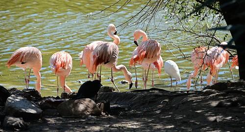zoo texas flamingo brownsville chileanflamingo gladysporterzoo nikond7000 nikkor18to200mmvrlens