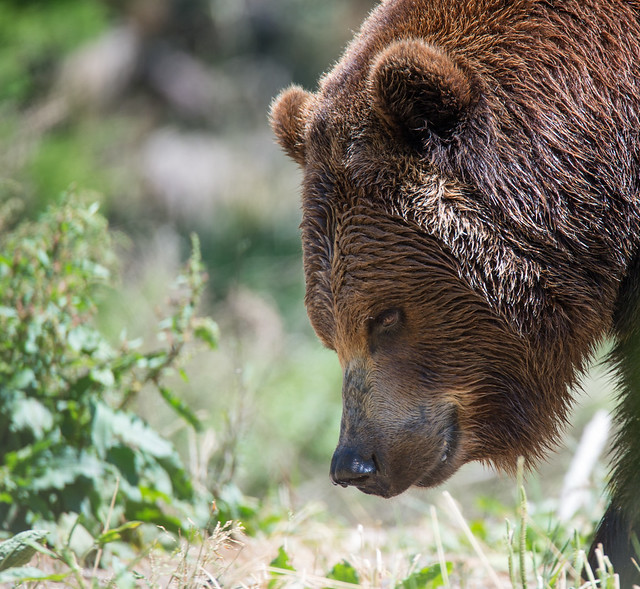 Brown Bear with water drops