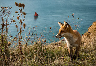 Fox at Alum Bay, Isle of Wight | by Elm Studio