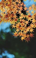 Kenroku-en Maple