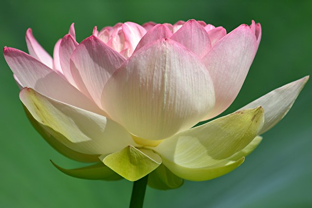 Pink-edged Lotus reaches for the sun