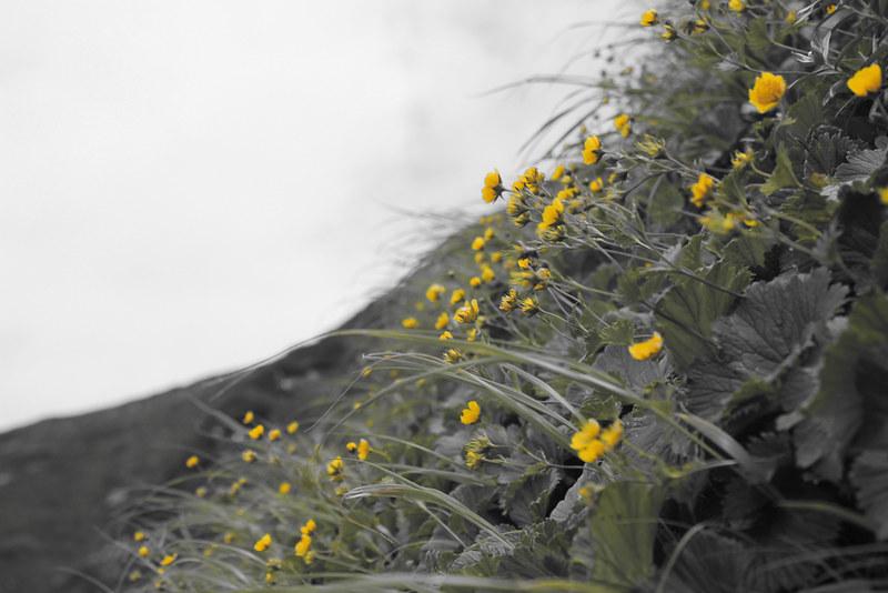 高山植物_07
