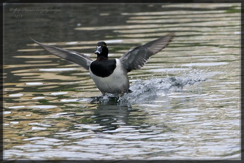 Ringed necked duck (Aythya collaris) 8 | by Alejandro Gonzalez T