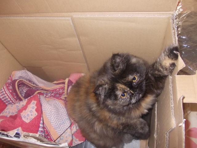 gatta in scatola
