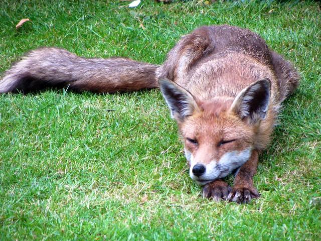 Lazy Brown Fox...