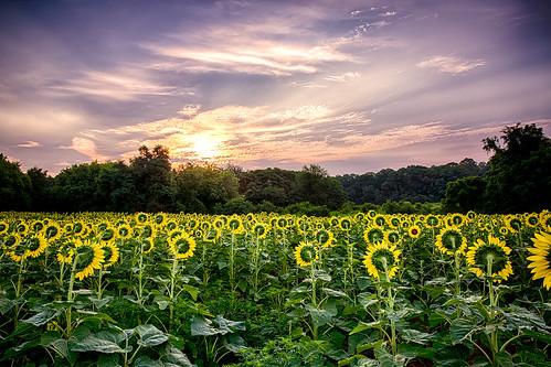 mckee field sunrise sunflower beshers